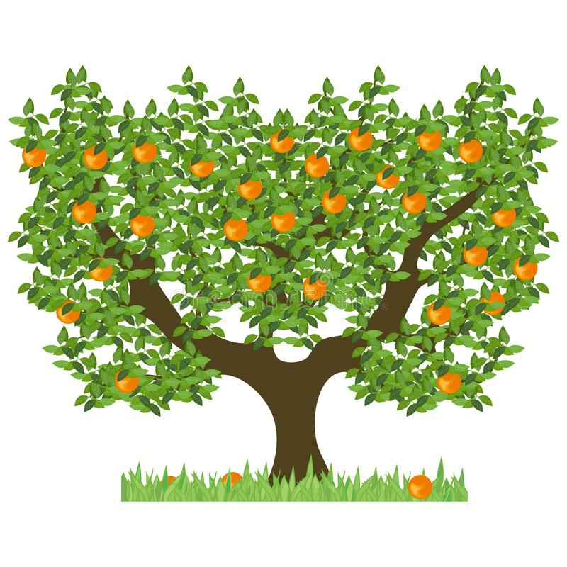 Orange tree with green leaves. Green tree with sweet ripe oranges. The isolated orange tree vector illustration