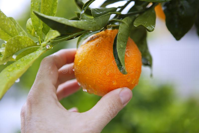 Orange tree human hand holding fruit stock photography