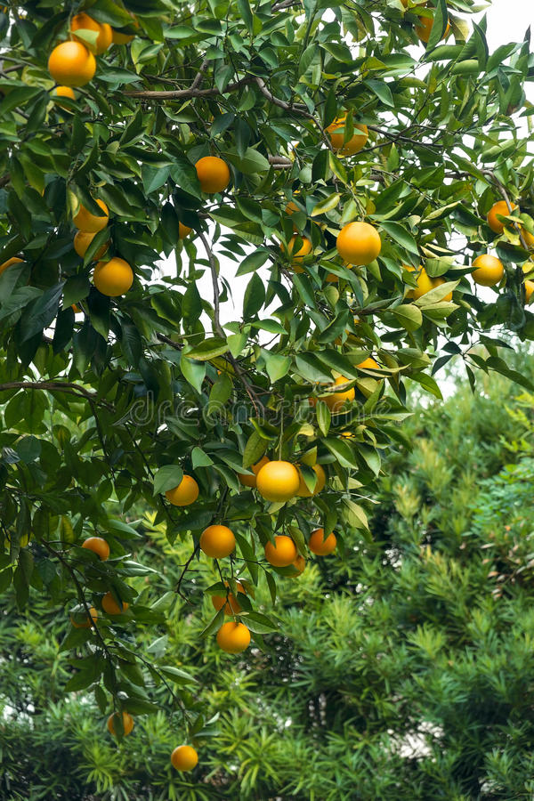 Orange Tree With Lots Of Fruit Stock Photo