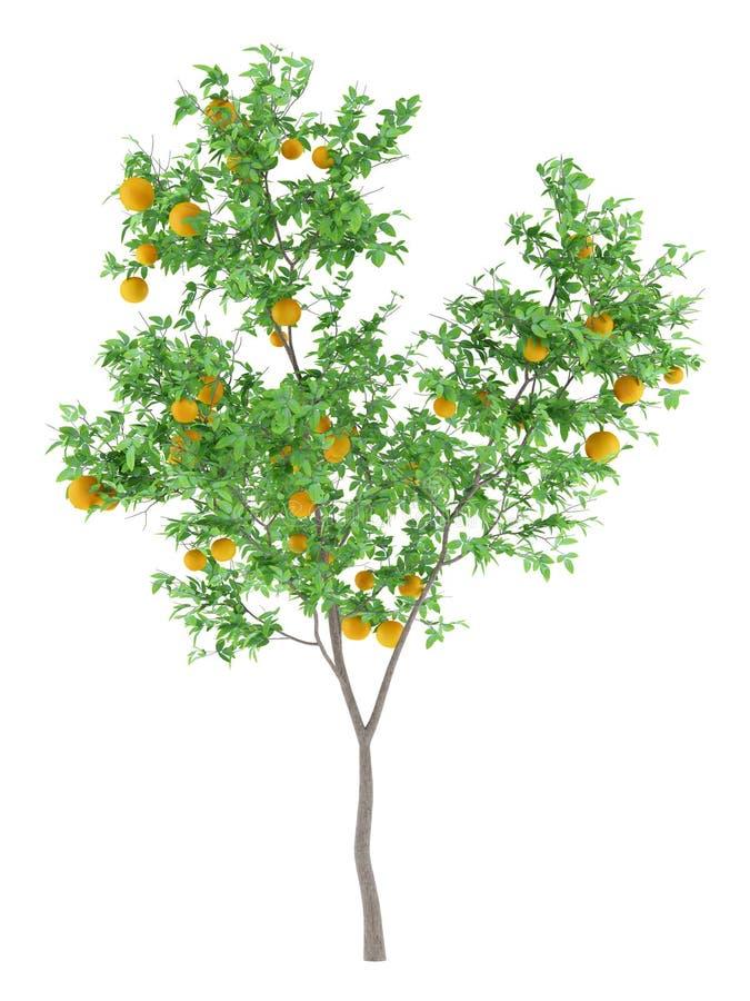 Orange tree with oranges isolated on white stock illustration