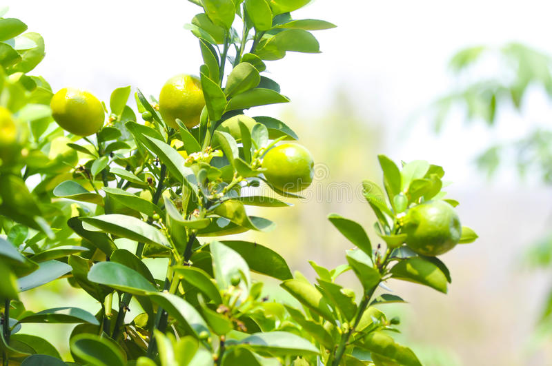 Orange tree in the orchard stock images