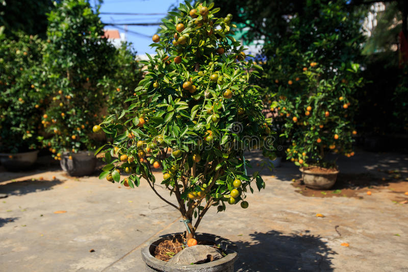 Download Orange Tree In Pot On Street Market In Vietnam Stock Image   Image  Of Gift