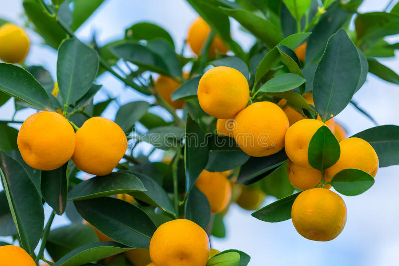 Orange tree. With ripe fruits in sunlight. Horizontal shot royalty free stock image