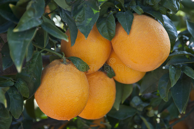Orange tree with ripe orange fruit stock image