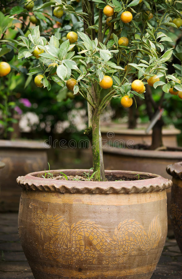 Orange Tree In Vase02 Stock Photos