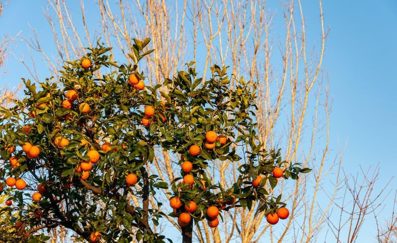 Sorrento, Amalfi Coast, Italy. Orange trees on the Amalfi Coast near Sorrento, a splendid village and seaside resort, behind the Gulf of Naples and close to stock photography