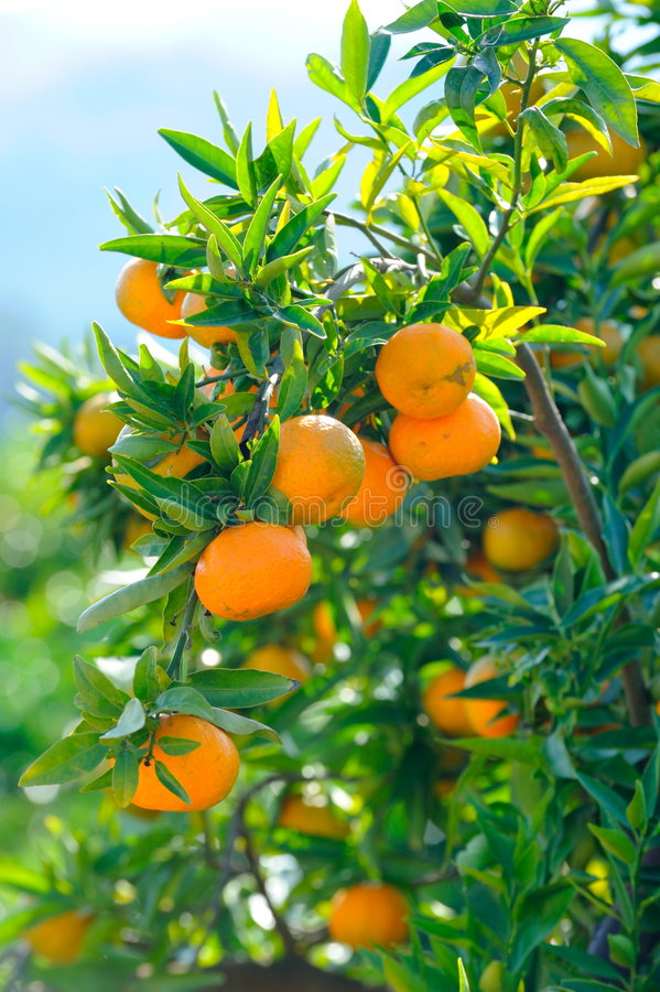 Download Orange trees with fruits stock image. Image of farm, environment - 7666113
