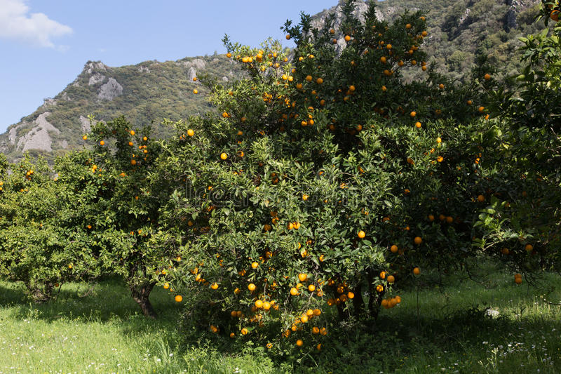 Orange trees in grove. In hillside on sunny day royalty free stock photo