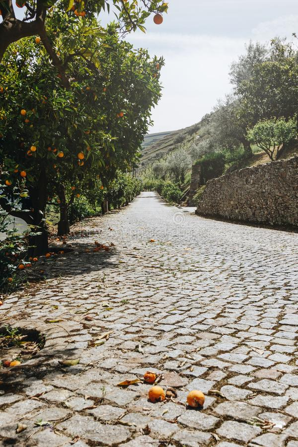The orange trees grove. At Pinhao village, Portugal stock image