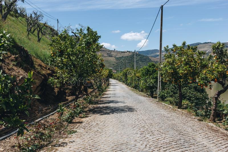 The orange trees grove. At Pinhao village, Portugal royalty free stock images