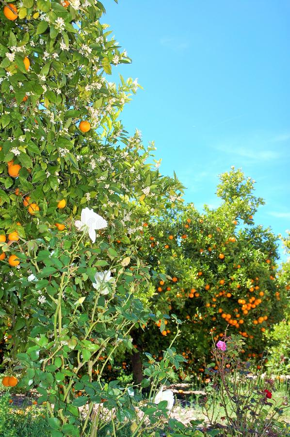 Orange blossom and oranges under the sunlight. royalty free stock images