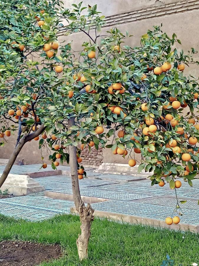 Orange trees in Morocco stock photo