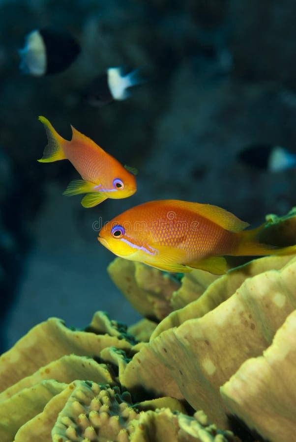 Free Orange Tropical Fish Close Up. Royalty Free Stock Photography - 14710777