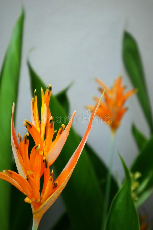 Orange tropical flowers with green leaves and white background stock photos