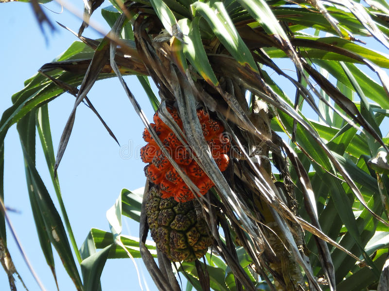 Orange tropical fruit on a palm tree. Sri Lanka royalty free stock image