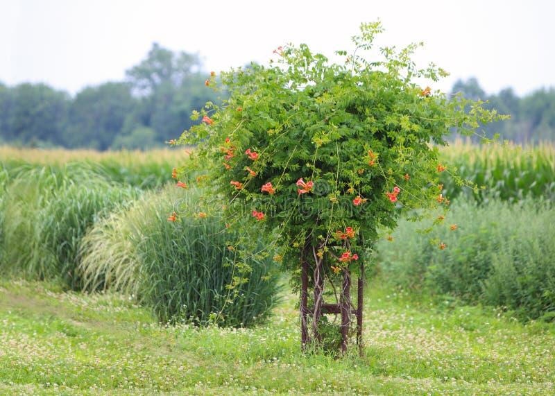Orange Trumpet Flower royalty free stock image