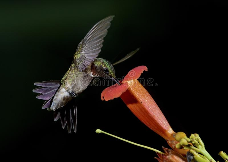 Orange Trumpet Vine flower and Hummingbird stock photography