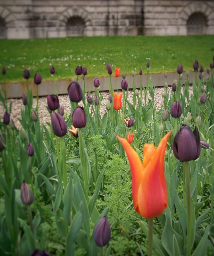 Orange Tulip in Black tulips stock images