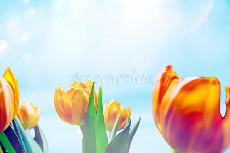 Orange tulip buds on a sunny sky background. Hello spring and summer concept royalty free stock images