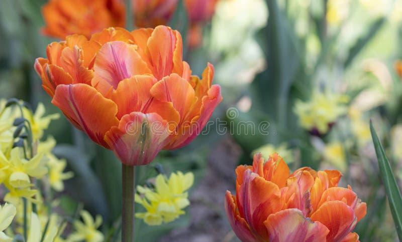 Orange Tulip Fleurs Nature Jardin Flore photo libre de droits