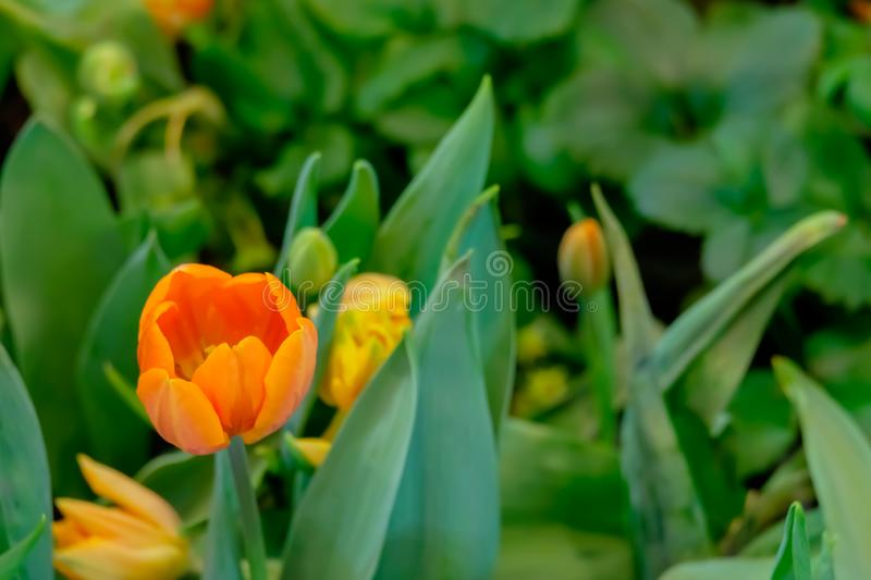 orange tulip flower bloom on green leaves background in tulips garden, Spring flowers royalty free stock photo