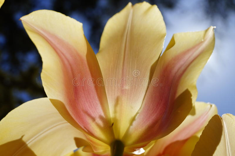 An orange tulip flower under the sunlight in Istanbul royalty free stock images