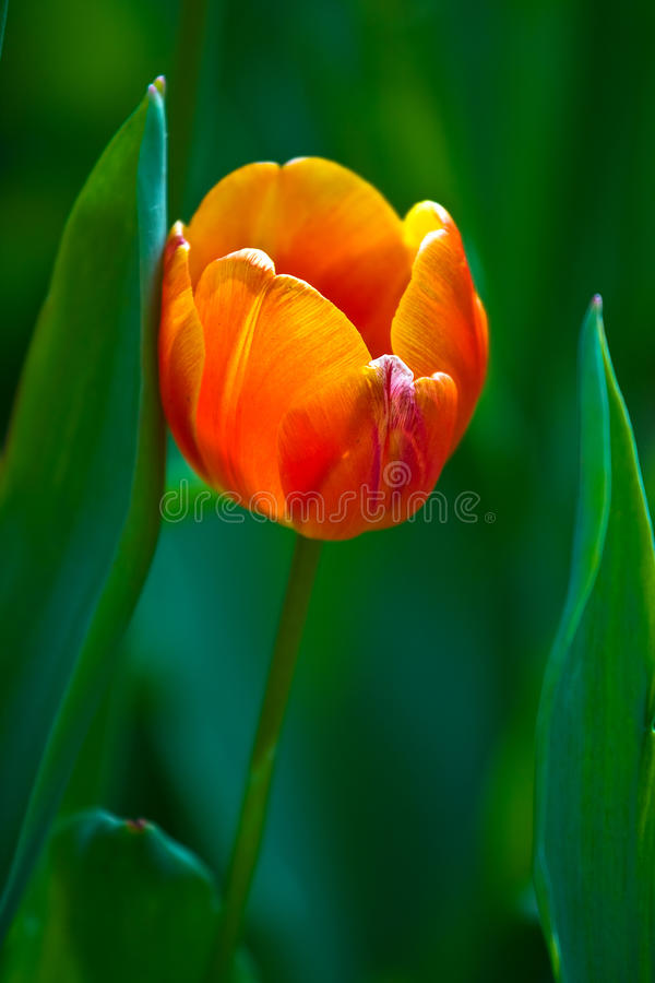 Download Orange Tulip On A Green Background Stock Image - Image: 14857705