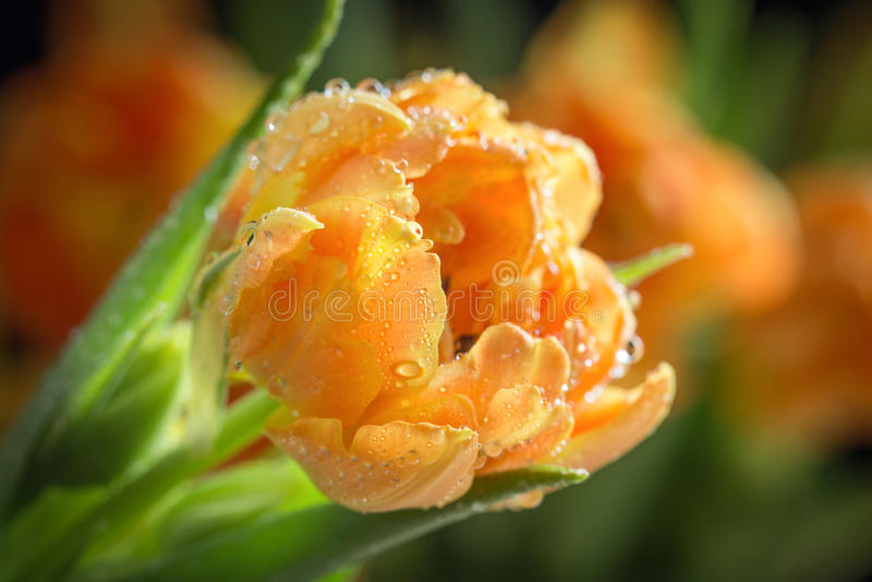 Orange Tulip royalty free stock images