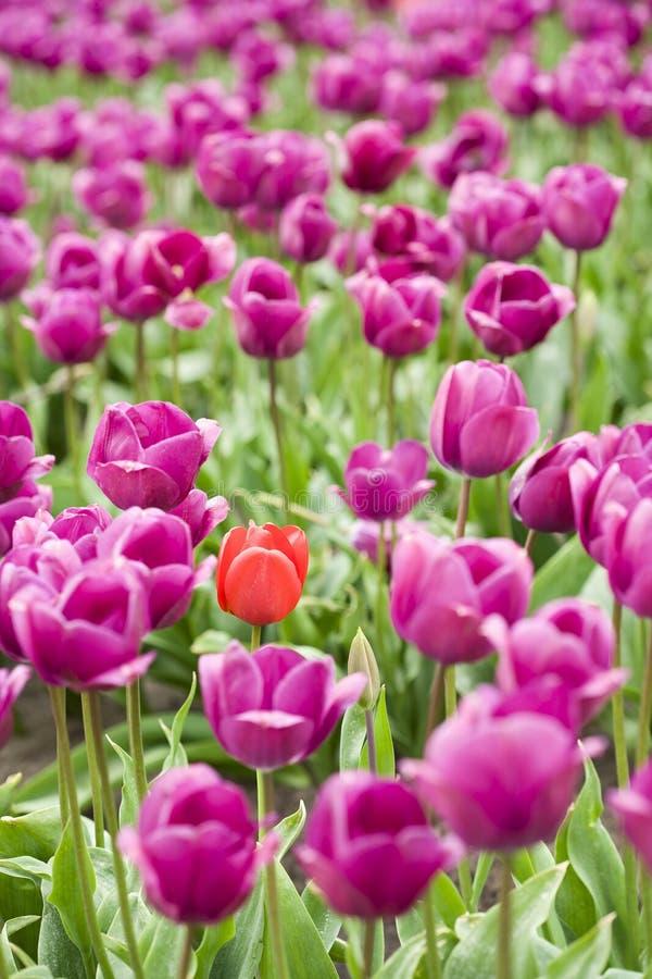 Download Orange Tulip In Purple Field Stock Image - Image: 5165071