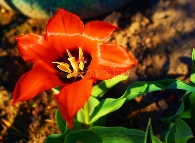 Orange tulip in spring in the garden. stock image