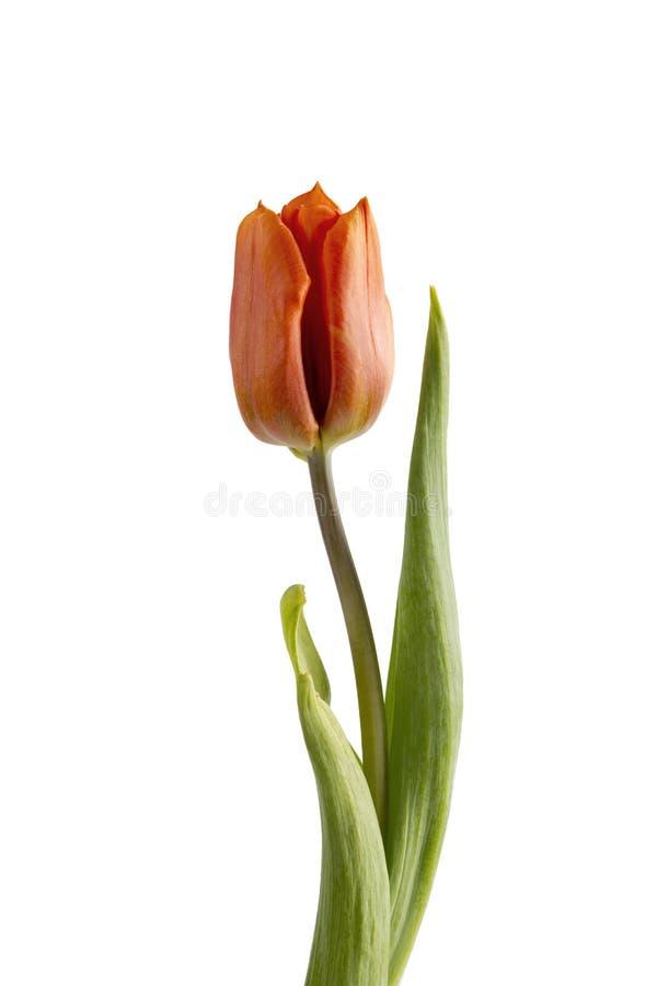 Orange tulip on a white background royalty free stock photo