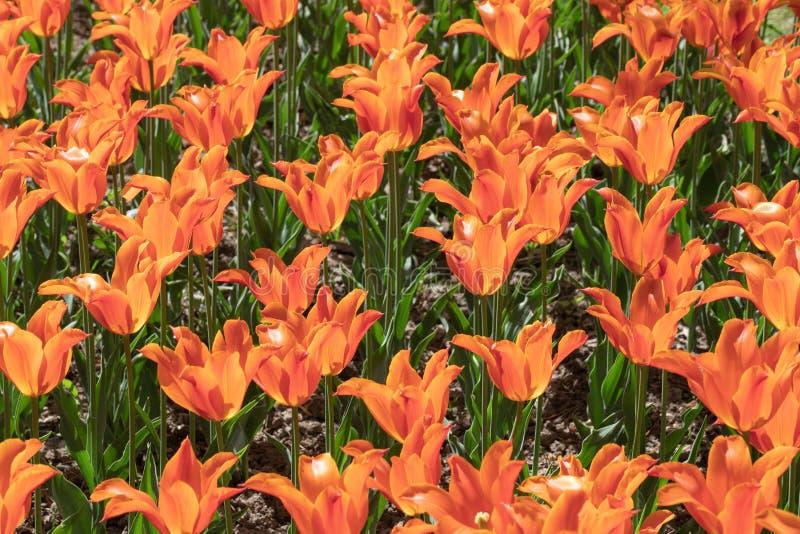 Orange Tulipe Fleur Nature Jardin Flore photos libres de droits