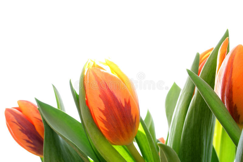 Download Orange tulips stock photo. Image of isolated, white, coming - 13341140