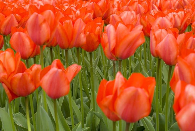 Download Orange tulips stock image. Image of stem, gardening, group - 2251009