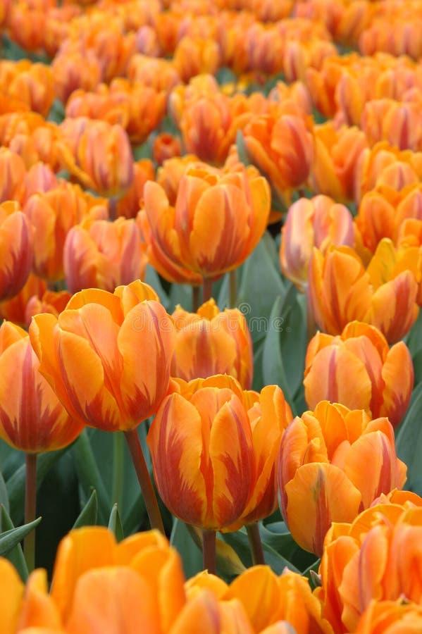 Download Orange Tulips Royalty Free Stock Image - Image: 2309236