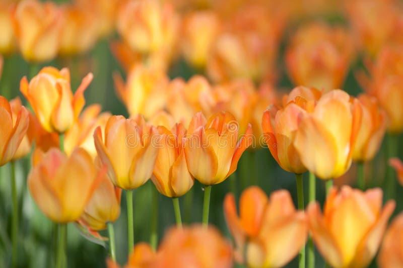 The orange tulips. Tulips (cultivar Prinses Irene) planted on Yelagin Island in St. Petersburg, May 2014 royalty free stock photo