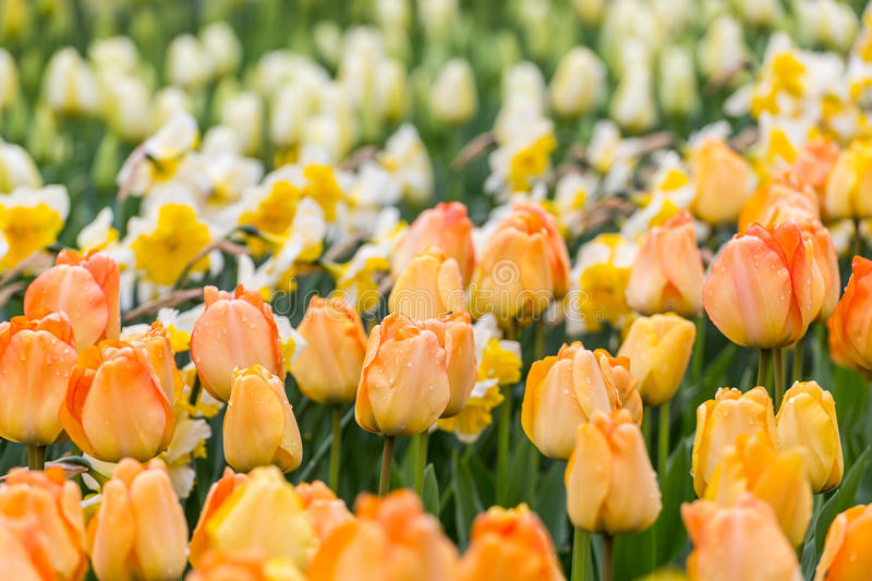 Orange tulips flower bed with white daffodils background in the park stock photo