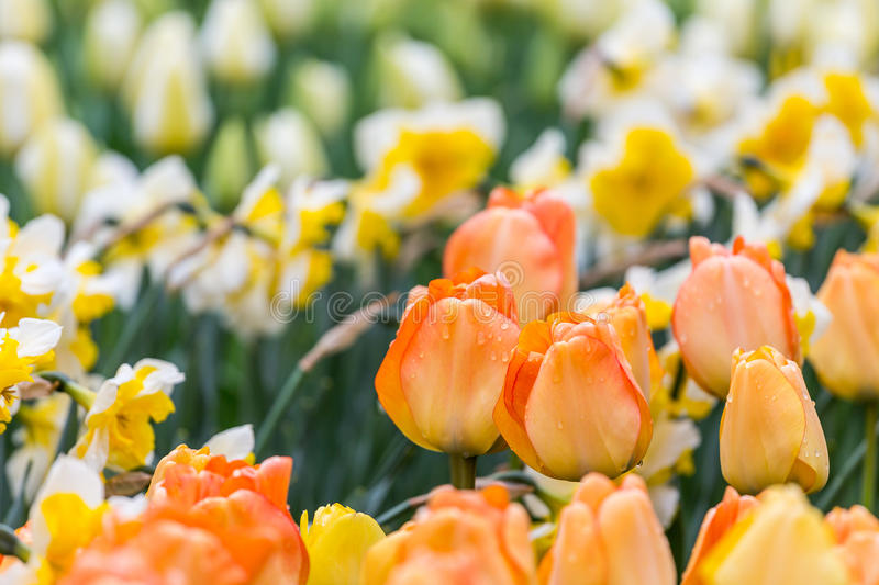 Orange tulips flower bed with white daffodils background in the park stock photography