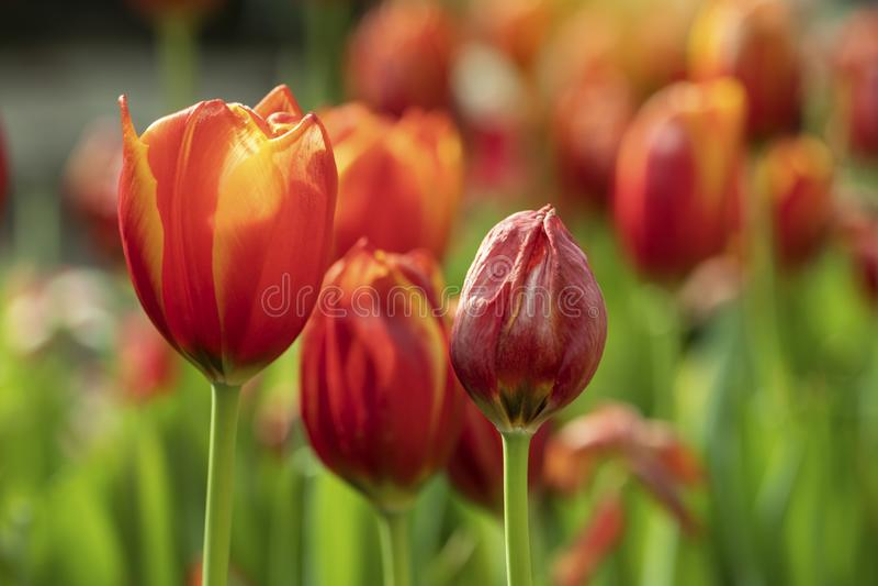 Orange tulips flower blooming blossom with sunshine morning in the botanic garden stock photo