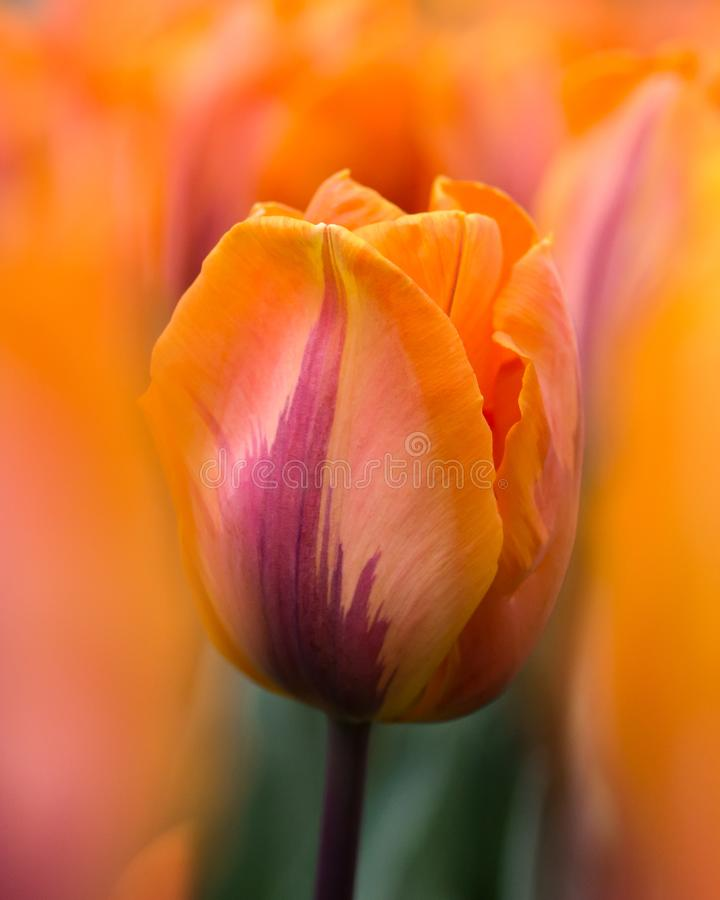 Orange tulip against soft focused field of tulips royalty free stock photos