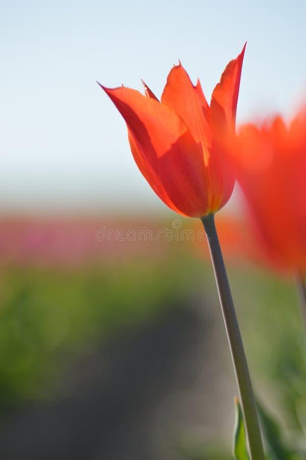 Ballerina Orange tulips. This is a single orange tulip with the name of Ballerina royalty free stock photos