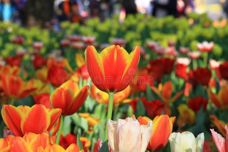 orange tulpan fotografering för bildbyråer
