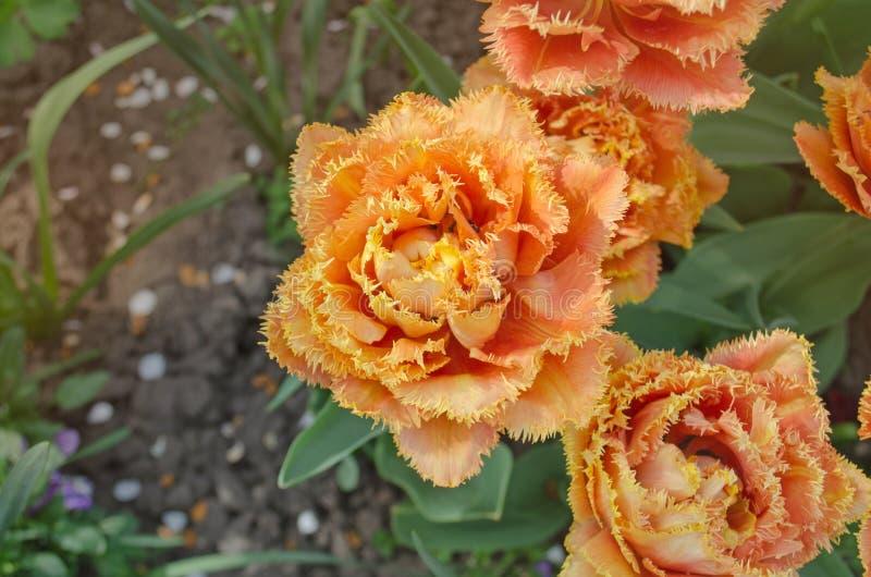 Orange tulpan för sinnligt handlag royaltyfri foto