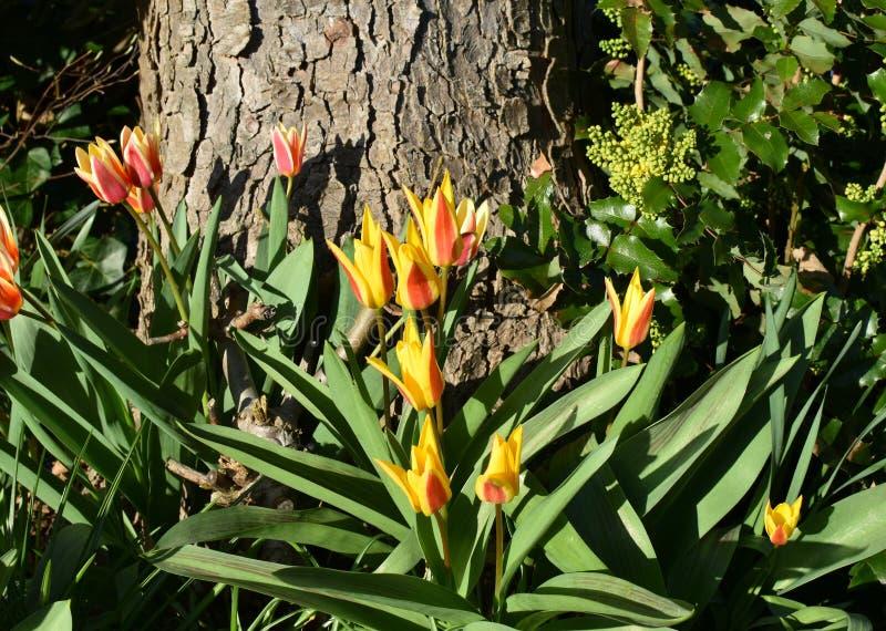 Orange tulpan i blom i bakgrunden för skogvårblommor Röda tulpan med gula kanter arkivbild