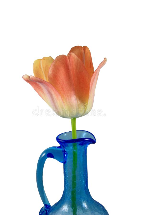 Orange tulpan i en isolerad blå vas royaltyfri bild
