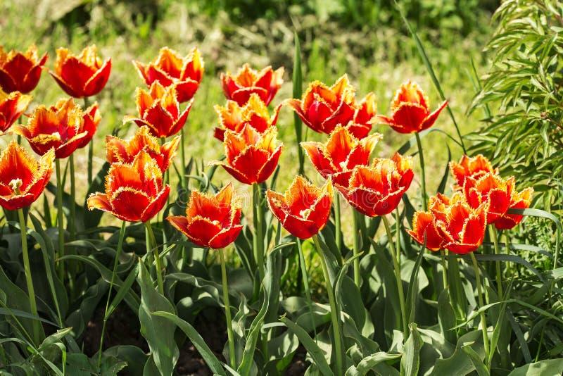 Orange tulpan i vårträdgård royaltyfri foto