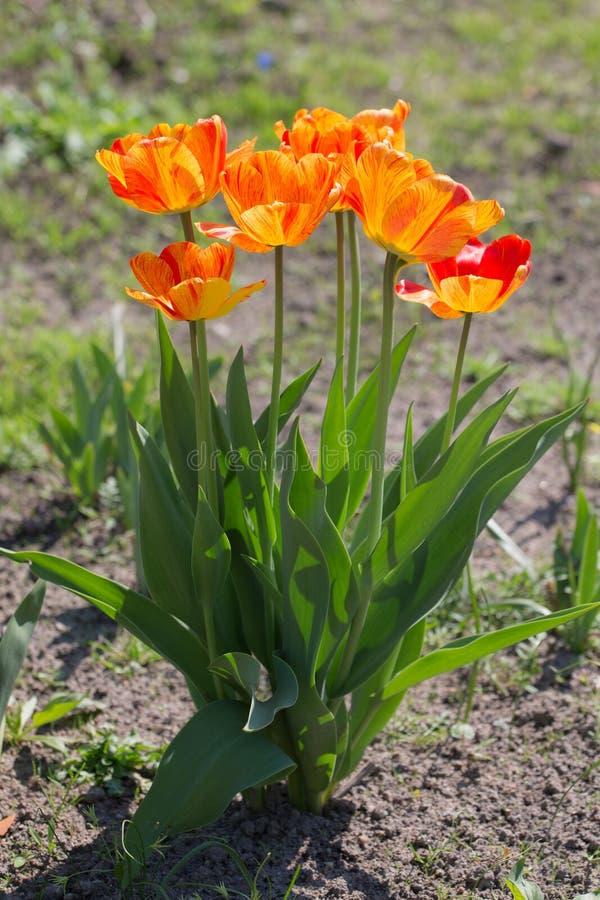 Orange tulpan på våren fotografering för bildbyråer