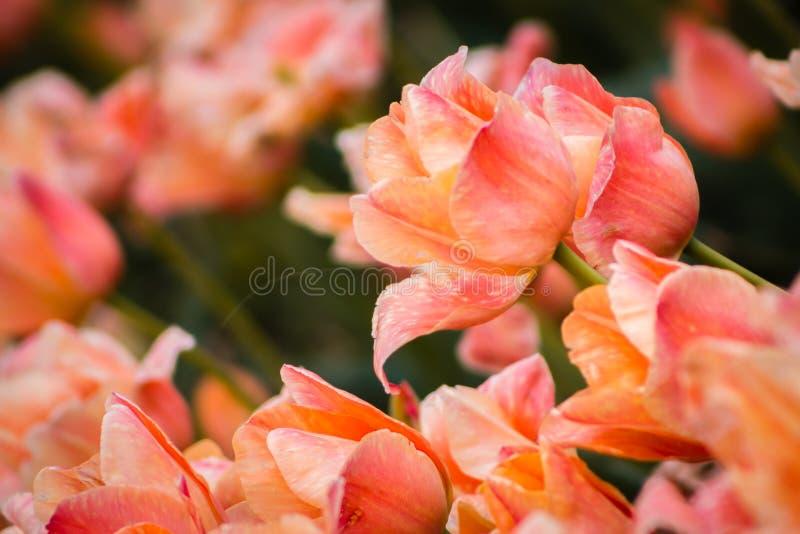 Orange tulpan som blommar under den Holland Michigan tulpanfestivalen arkivfoton