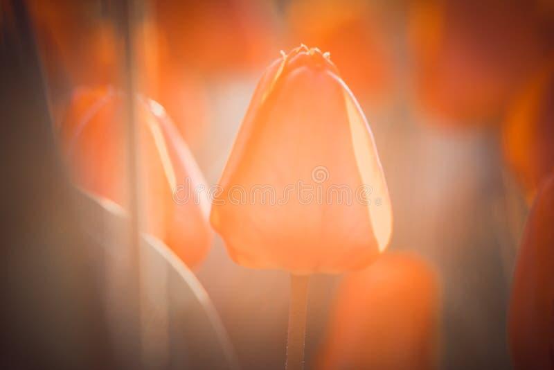 Orange tulpan som växer i en solig vårträdgård fotografering för bildbyråer