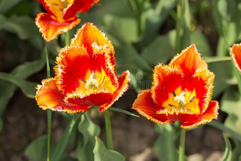 Orange tulpan stänger sig upp royaltyfri bild